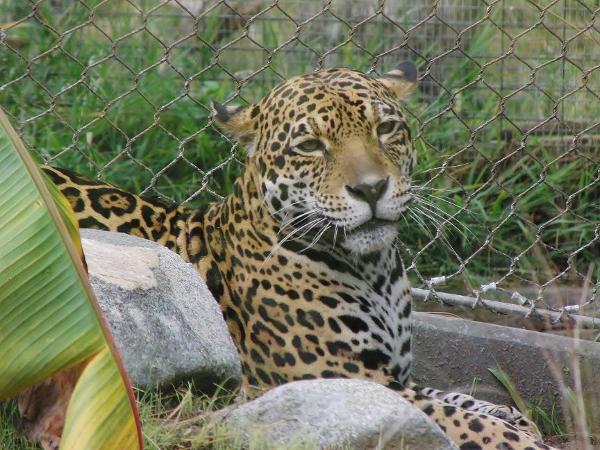 GalaTView – Jaguar H...